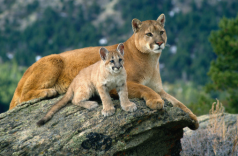 Mountain lion sighting in Belmont residential area