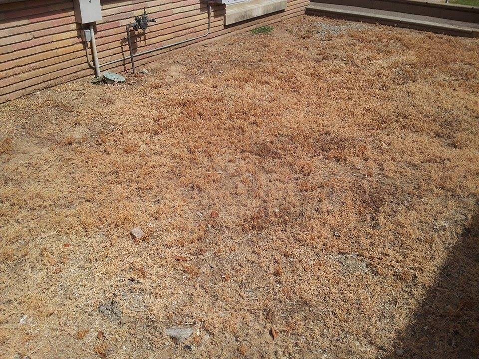 The grass near the quad at Carlmont has not been frequently watered because of the drought.