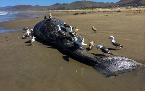 Gray whale carcass found on Kelly Beach