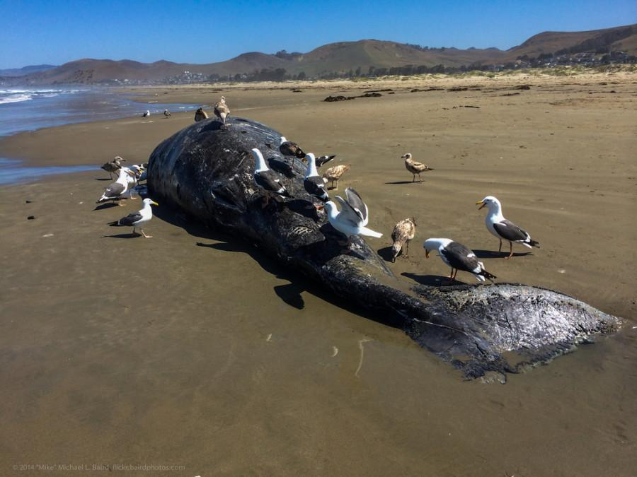 The+most+recent+whale+carcass+washed+ashore+on+May+19.