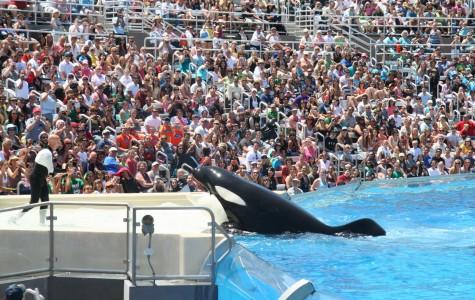 SeaWorld's cancellation of orca breeding program makes history