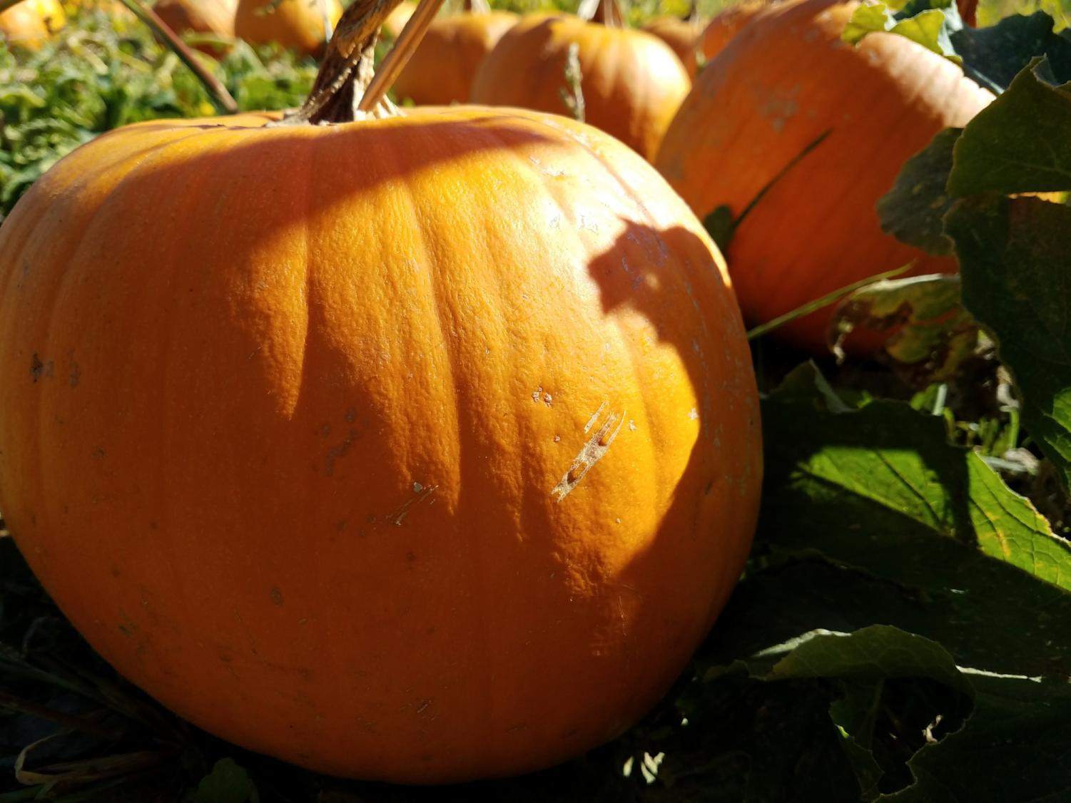 Pumpkins sit in the fields waiting to be brought down to the lower lot for sale.