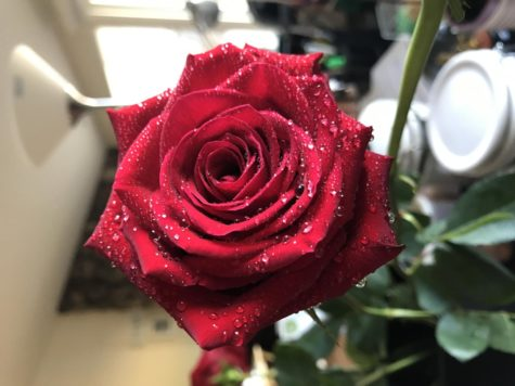 Annual rose sale spreads love throughout the halls