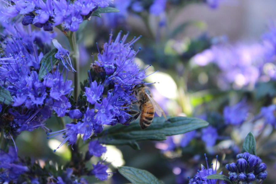 At+the+Carlmont+Shopping+Center%2C+bees+can+often+be+found+at+Ladera+Garden+and+Gifts%2C+pollinating+the+many+flowers+there.
