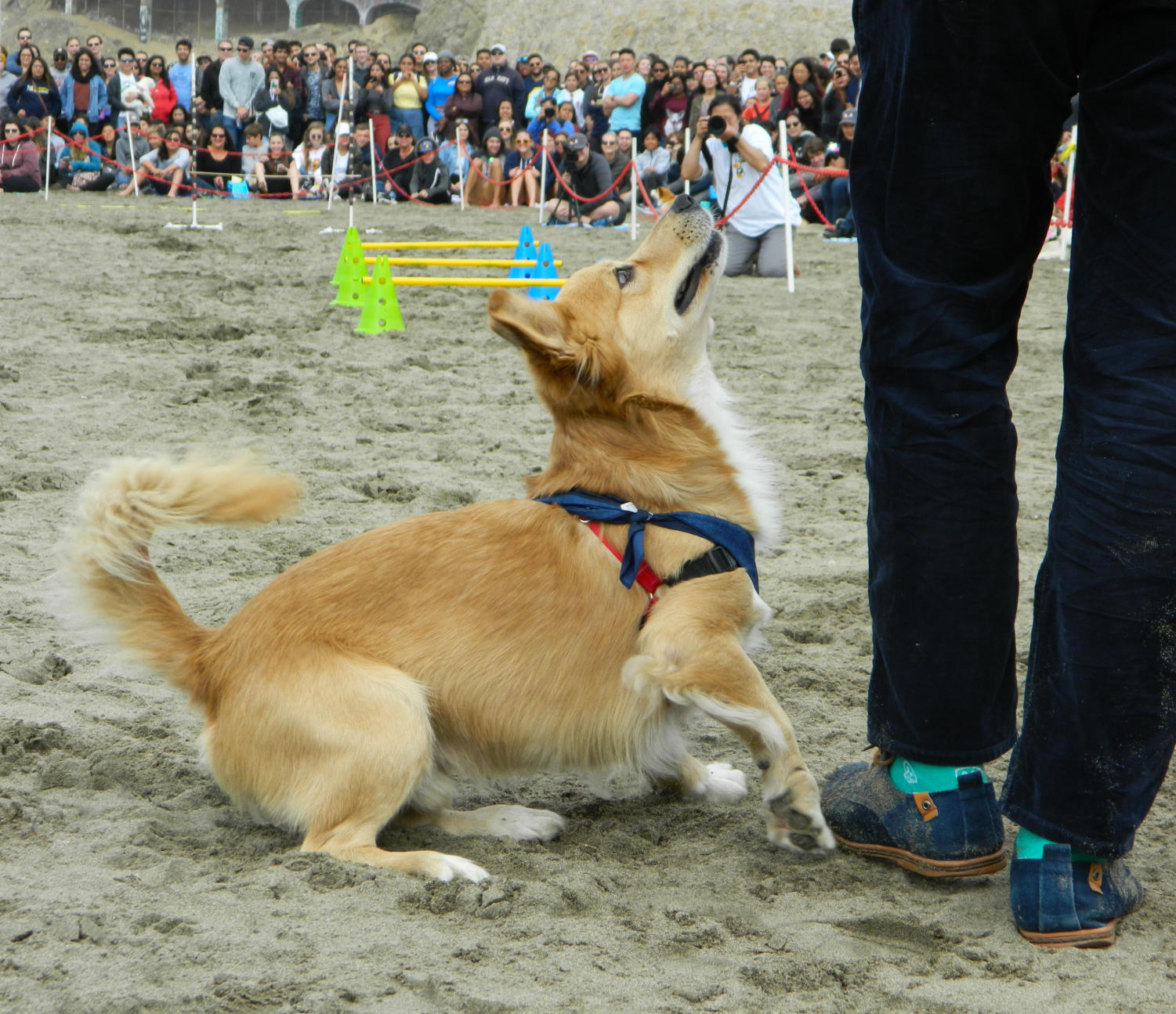 Ketchup%2C+the+champion+of+Corgi+Ninja+Warrior%2C+looks+up+to+his+owner+in+excitement+before+starting+the+corgi-sized+obstacle+course.