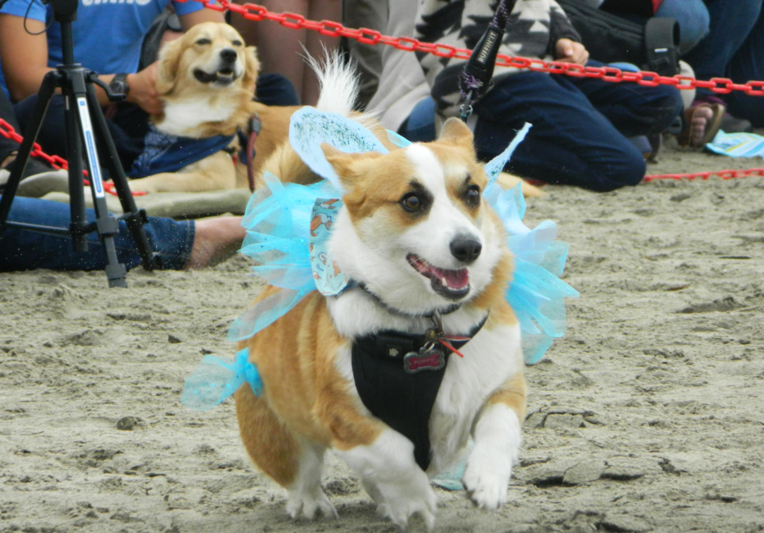 Button+the+corgi+wears+a+Cinderella+dress+made+by+her+owner+Kelli+Kohlweck+at+the+corgi+costume+contest.