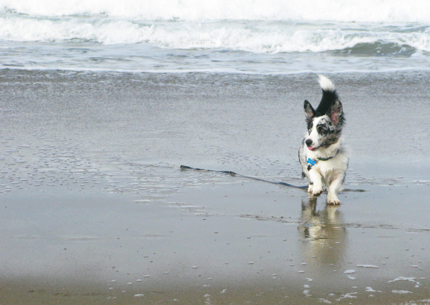 A+blue+merle+corgi+jogs+back+after+dipping+their+paws+in+the+ocean.