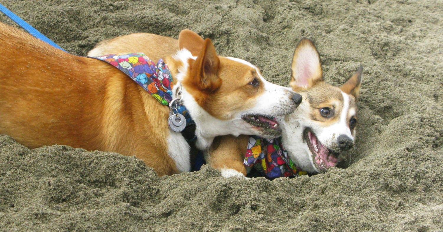 After+digging+a+hole+together%2C+a+corgi+gives+its+partner+a+kiss+on+the+cheek.+