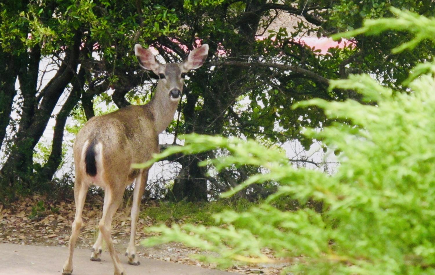 Deer in the Belmont and San Carlos area wander into peoples driveways and yards.