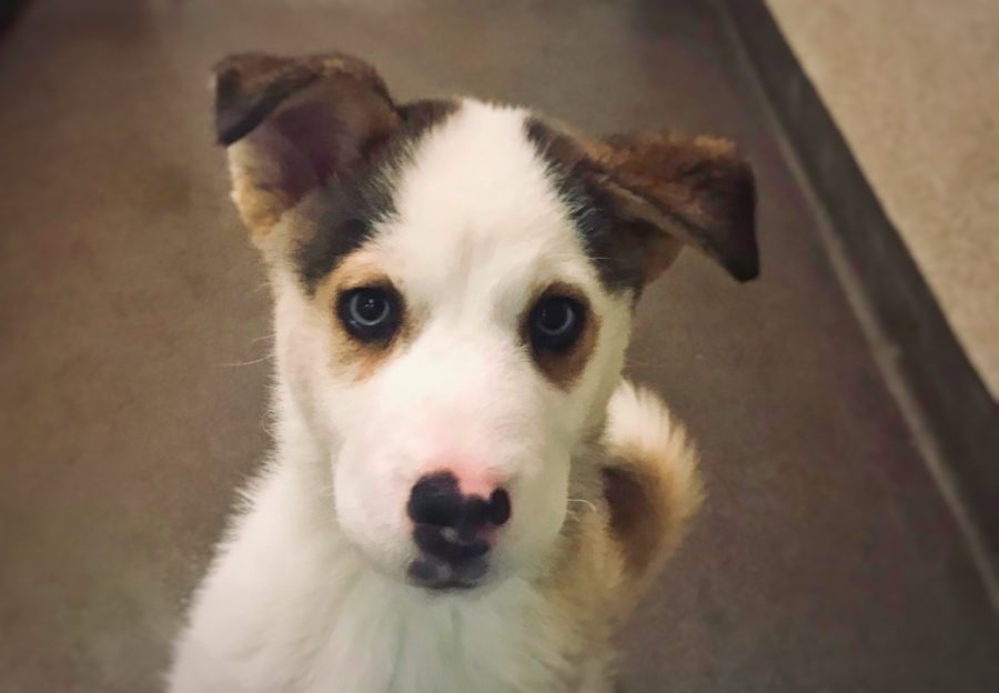 Sir+Henry%2C+a+3-month-old+Siberian+Husky-Austrailian+Shepherd+mix%2C+waits+to+be+adopted+from+the+Burlingame+SPCA.