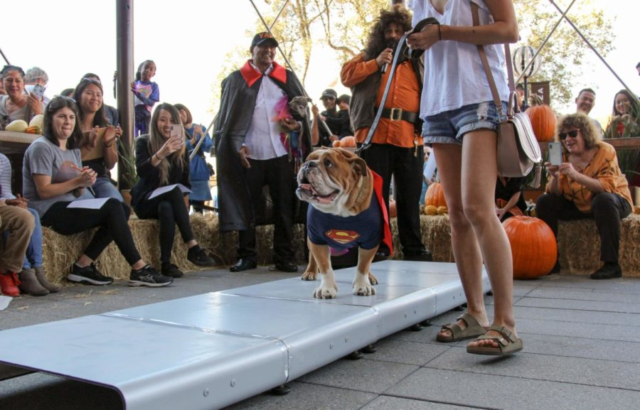 A+dog+dressed+as+Superman+walks+the+catwalk+for+YAP%27S+halloween+costume+contest.