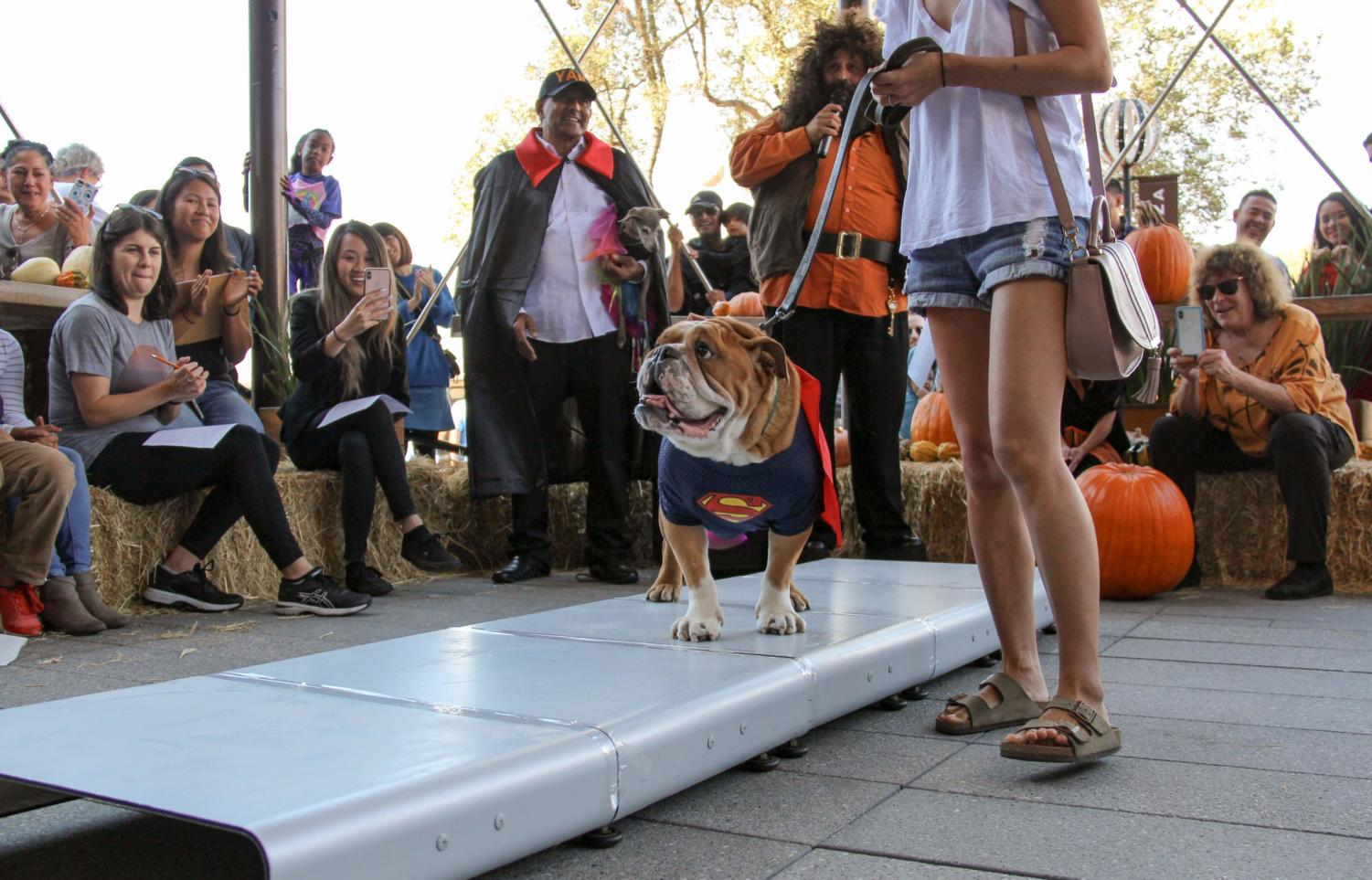 A dog dressed as Superman walks the catwalk for YAP'S halloween costume contest.