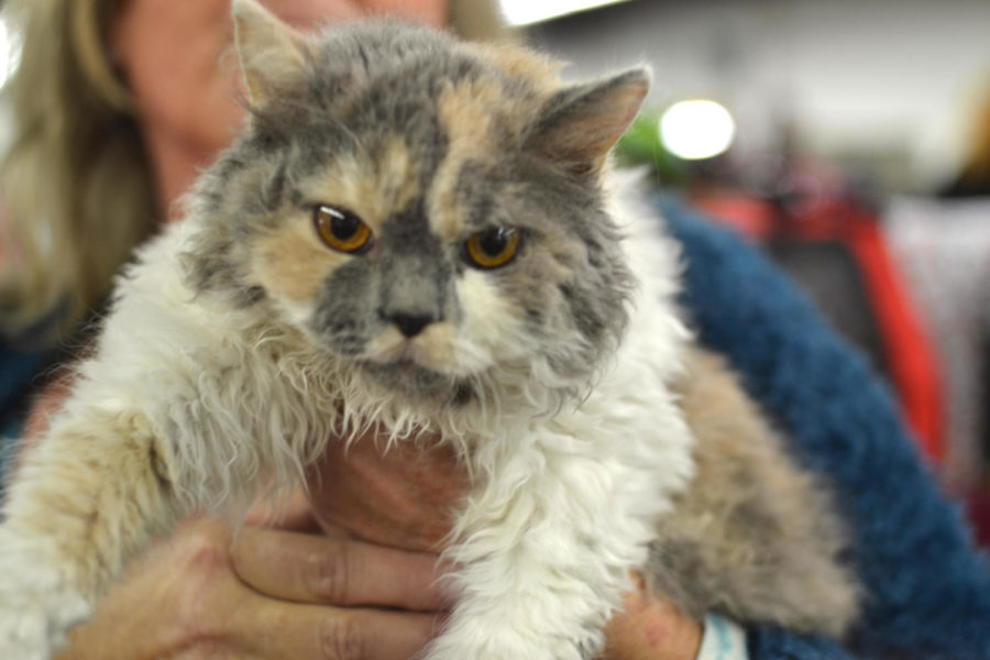 San Mateo Cat Show presents a 'pawsome' lineup of exotic cats