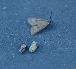 Moth outbreak gains increasing attention