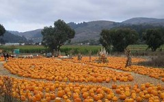 Pumpkin patches just like this one are lined up as people drive into Half Moon Bay