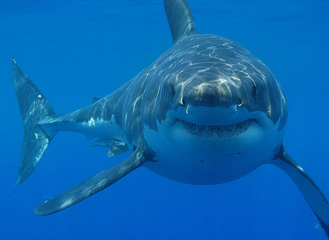 Great+White+Sharks+have+been+spotted+in+the+bay+area+in+large+numbers.
