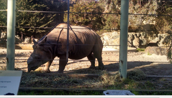 Meet San Francisco Zoo's Indian rhino, Gauhati. This marvelous armor-covered creature weighs in at 5,000 pounds and is about 6 feet tall, a real sight to behold in person. It is devastating to think that one day there will be no more of his kind left in the world.
