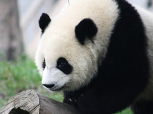 Despite there being other endangered species that need help, pandas seem to hog most of the attention.