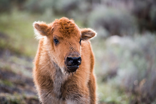 Bison can be found all over Yellowstone National Park, but due to an incident with two tourists, one less bison calf will be roaming the park.