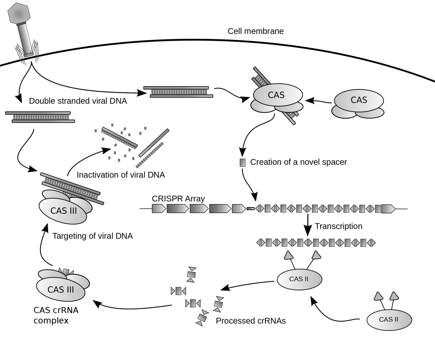 This diagram shows the complicated process known as CRISPR, which uses the Cas-9 protein to perceptively cut molecular strands. Scientists have been able to re-program Cas-9 and have used it to edit the genomes of mice, monkeys, and pigs.