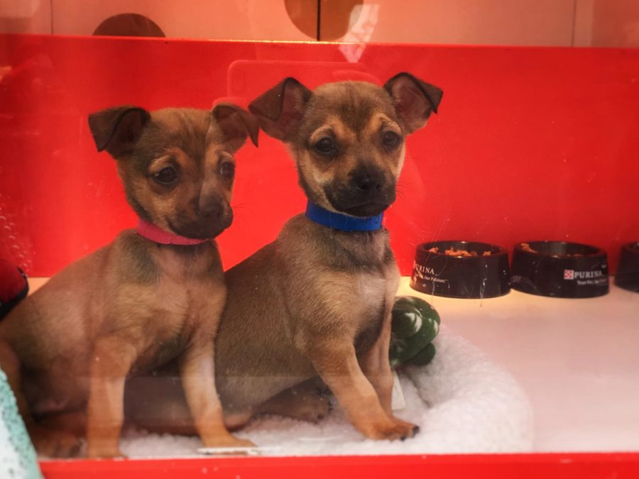 Two puppies look outside from the SPCA's Holiday Windows display at Macy's in San Francisco's Union Square.