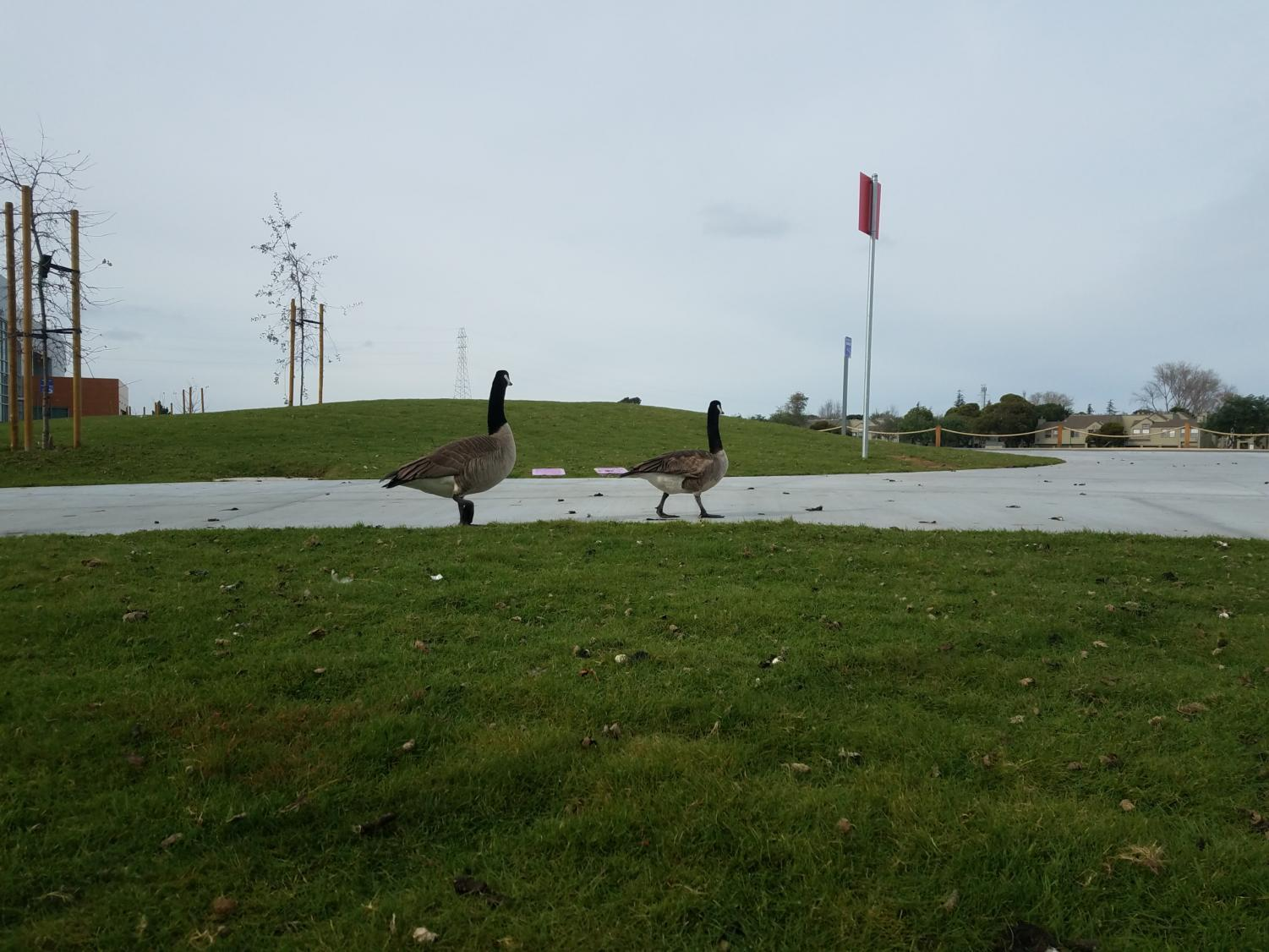 Canadian+geese+such+as+these+can+be+seen+flocking+around+the+campus+on+any+given+day.