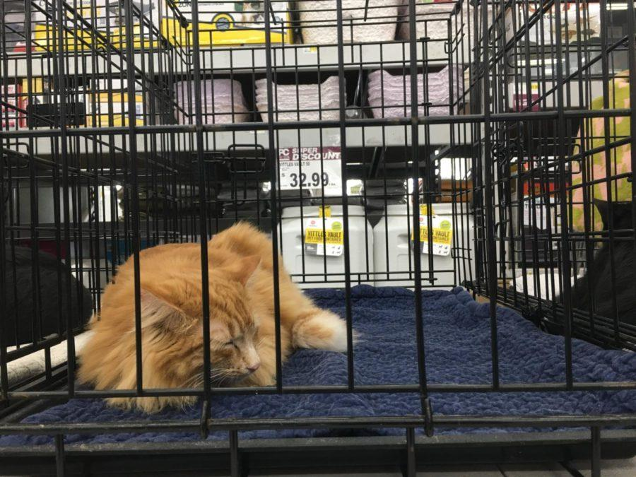 One of the rescued cats naps in its cage during the adoption fair at Pet Club.