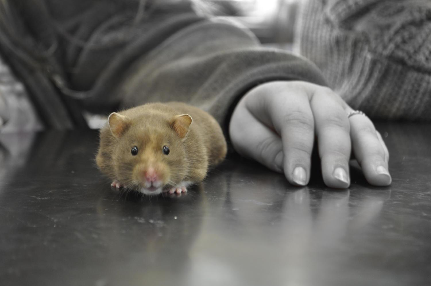 This is David Talcott's hamster, Scout, and many students enjoy playing with her.