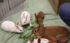 Along with their mother, Hazel, eight baby bunnies were brought to the Bunnies and Boba event for visitors to hold, pet, and feed.