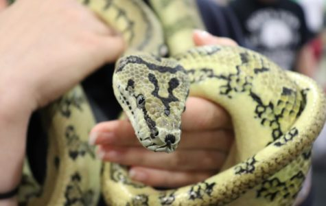 Attendees were able to hold this Jaguar Carpet Python while it looked for a forever home.