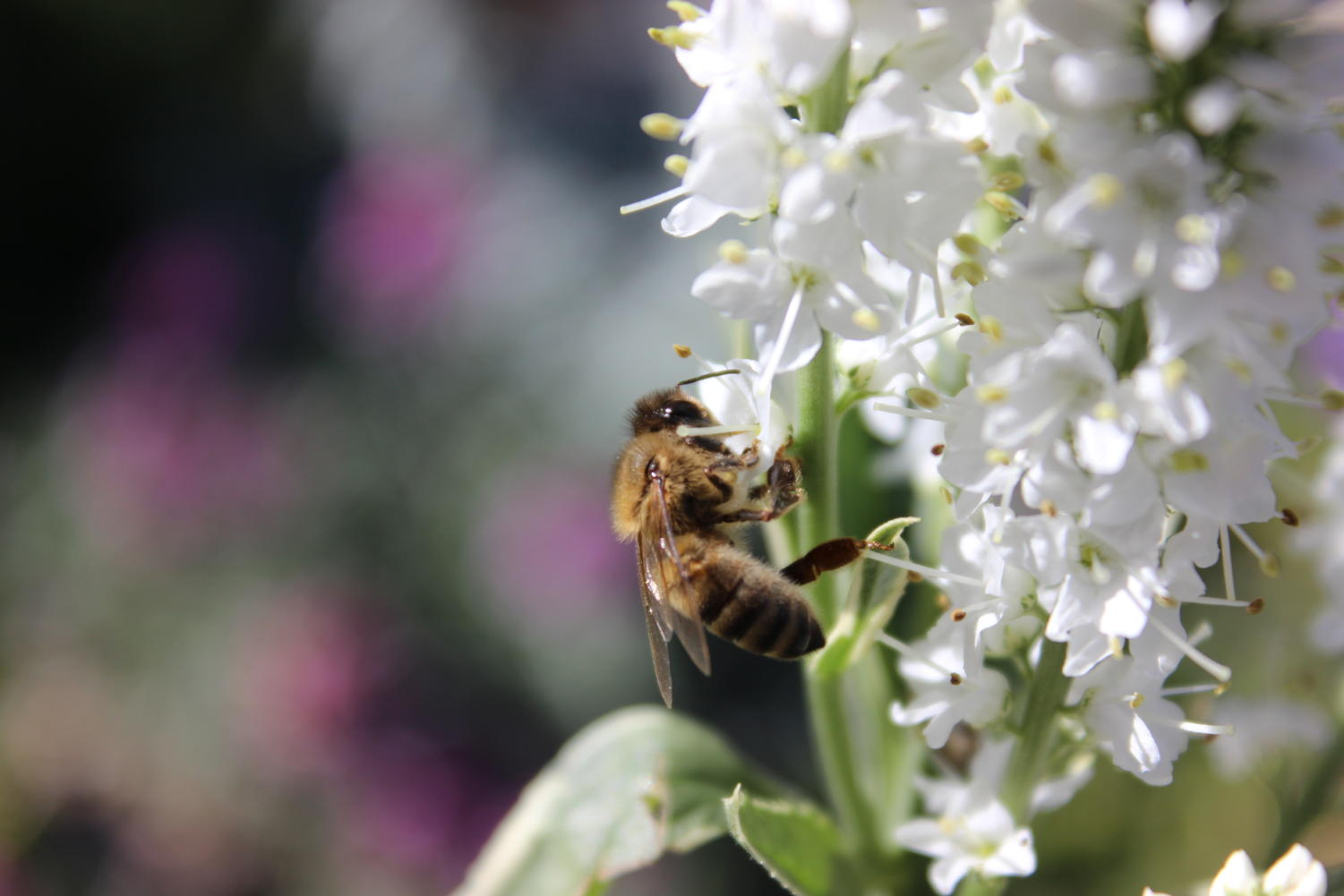 Honey bees frequent flowers found in gardens or backyards, collecting nectar for the honey making process.