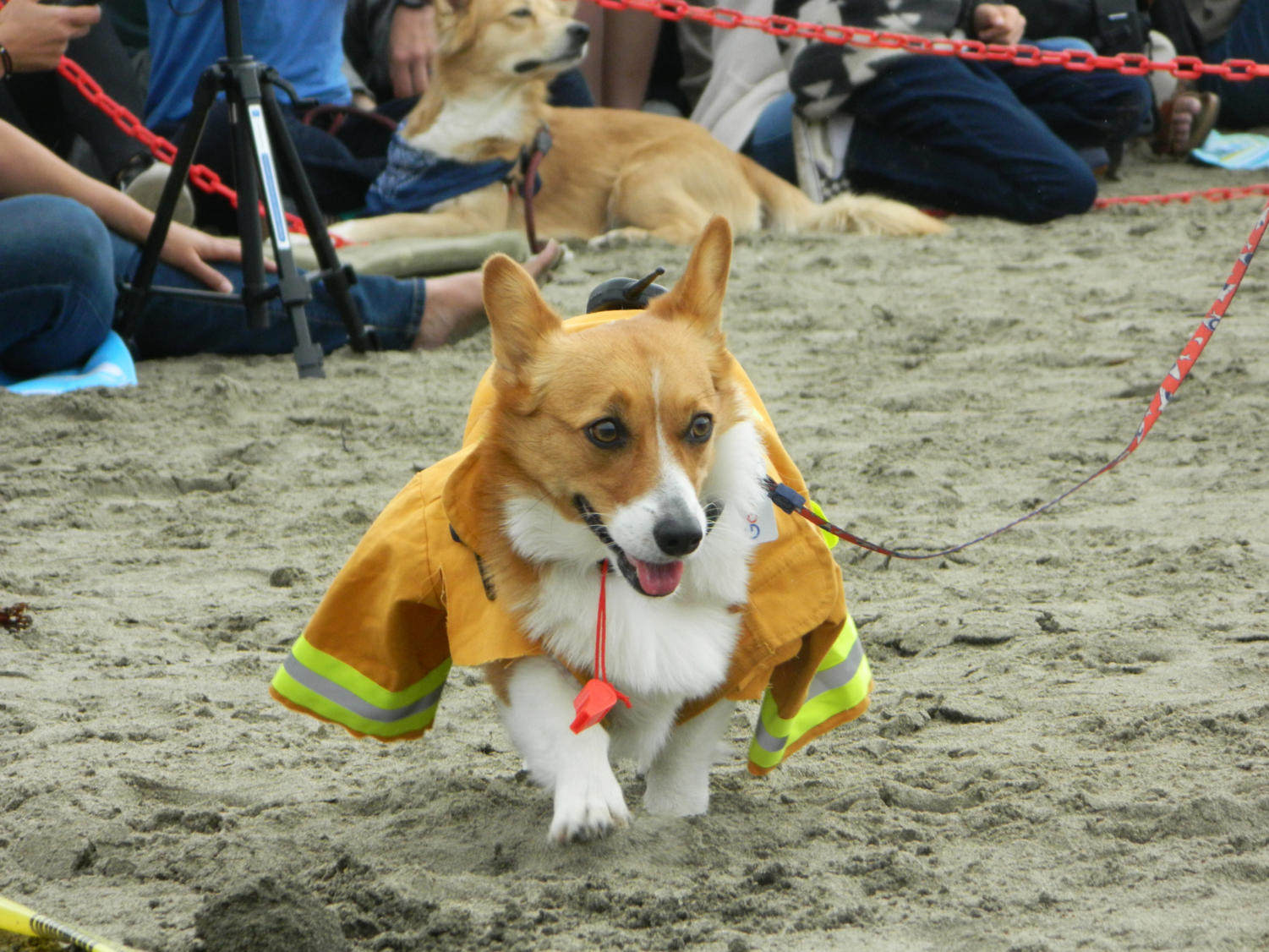 A+corgi+dressed+up+as+a+fireman+waddles+down+the+parade+before+judging.