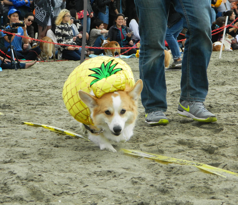 A+pineapple+pup+pounces+down+the+parade+line.