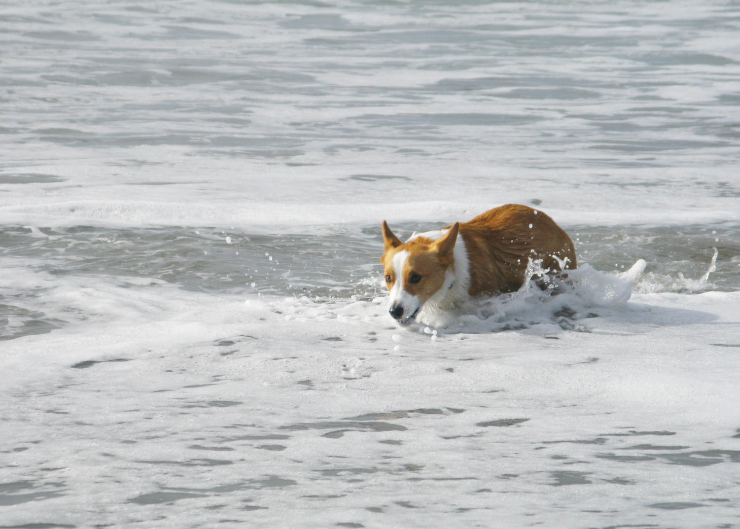 Prior+to+the+day%27s+events%2C+hundreds+of+corgis+started+off+their+morning+with+a+light+swim+and+sprints+along+the+shoreline+at+Ocean+Beach.