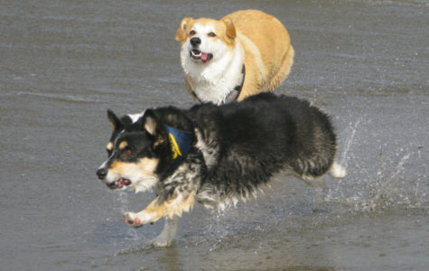 A corgi chases after their new friend as they were splashed by a wave.