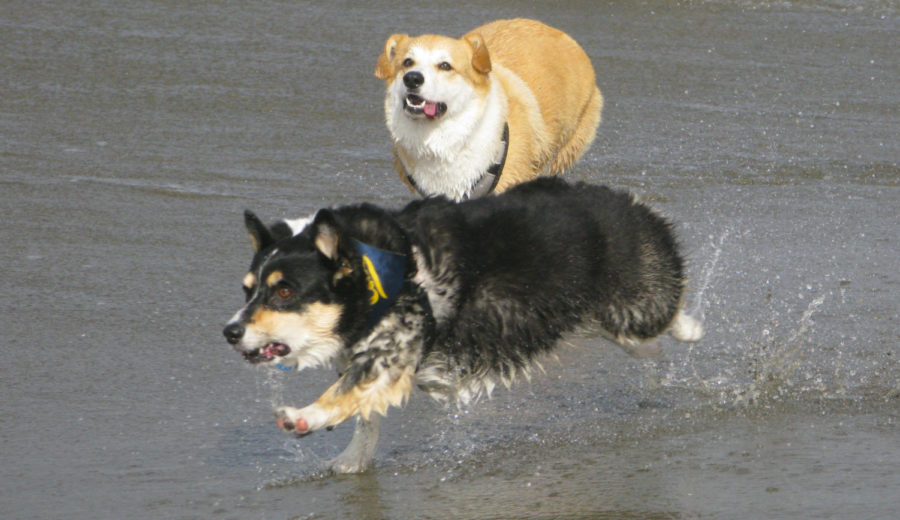 A+corgi+chases+after+their+new+friend+as+they+were+splashed+by+a+wave.