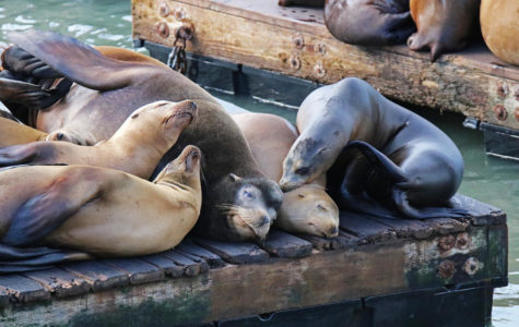 Five sea lions huddle together after being hit by the cold San Francisco rain on their anniversary.