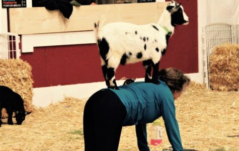 A participant does the tabletop pose while a goat is perched on her back.