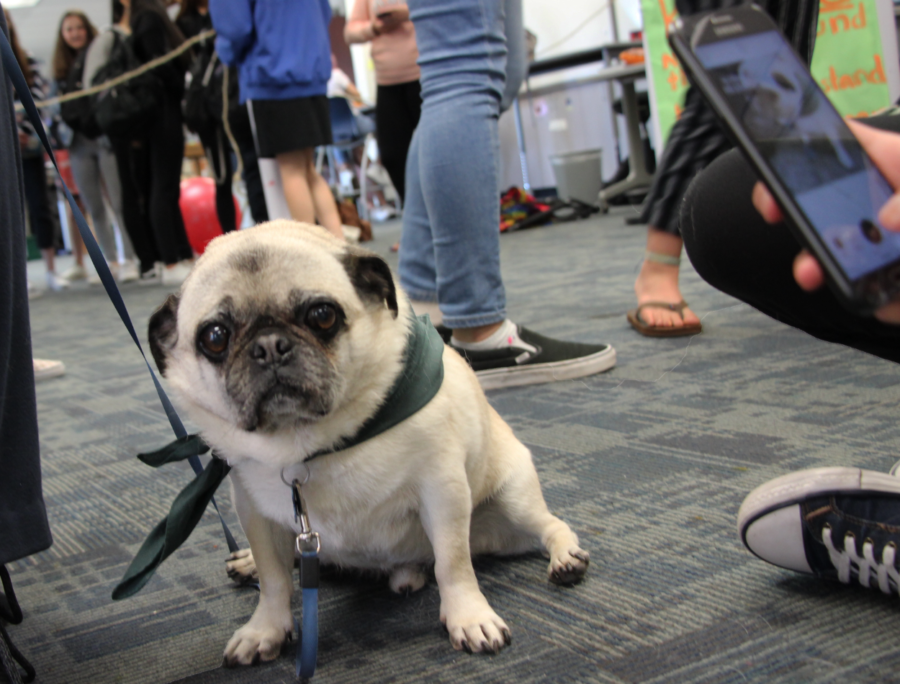 Wilbur the pug poses while a visitor takes a photo.