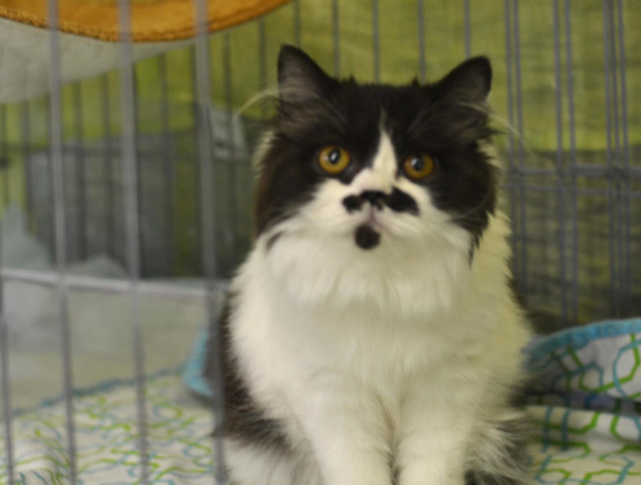Gigi%2C+a+young+Selkirk+variant%2C+just+woke+up+from+a+nap+to+play+with+her+owner+Denis+Spraker+and+other+visitors+in+San+Mateo%2C+CA%27s+Event+Center+on+Saturday.+Spraker+has+been+competing+in+cat+shows+since+1983+and+enjoys+it+a+lot.+%22She%27s+been+showing+well+and+we%27re+having+fun%2C%22+Spraker+said.+%22So+we%27re+doing+quite+well.%22