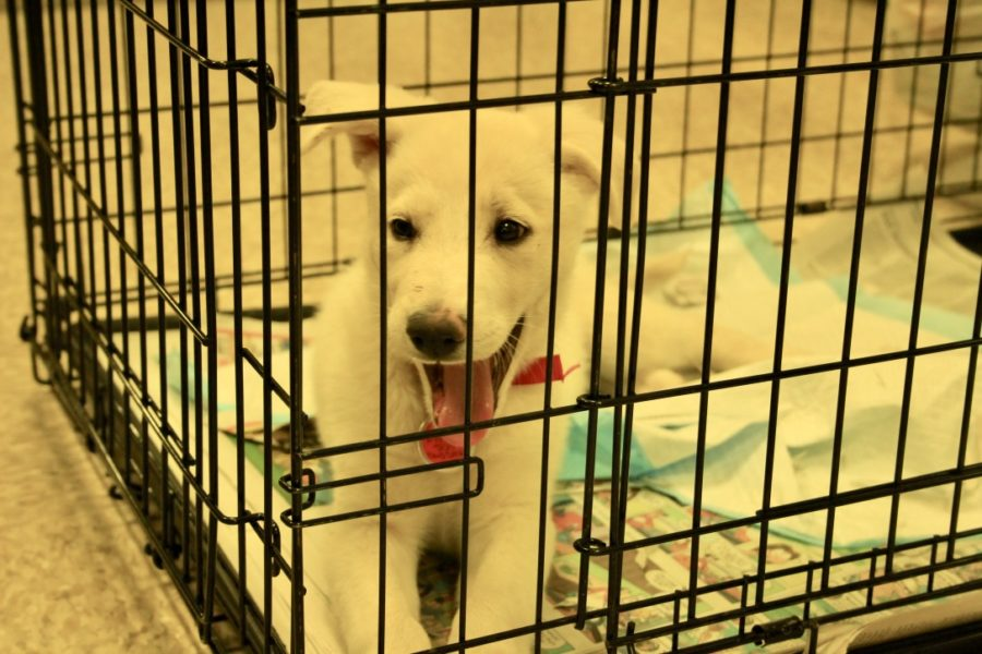A dog plays in his cage while waiting for his new owners to   pick him up.