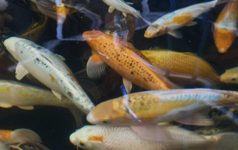Koi, which are used on Ouroboros Farms, are sought out for their durability, as they can withstand year-round temperatures and are highly resistant to common parasites.