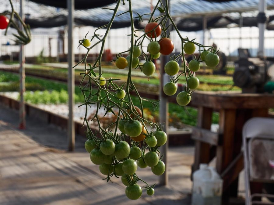 Tomatoes are one of the easiest and most popular plants to grow in an aquaponics system.