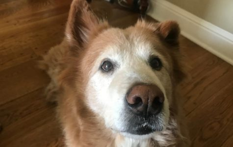 Golden retriever chow mix Parker hopes to earn a treat from his owner.