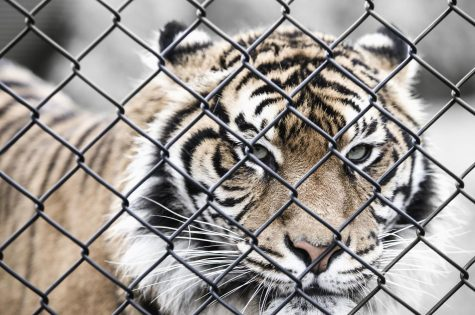 A tiger is in a cage that does not meet the environmental standards it needs in order to thrive.