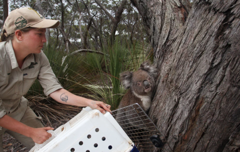 A zookeeper releases a koala affected by the recent bushfires.