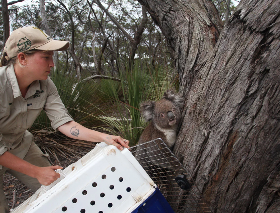 Koalas released back into wild after Australian bushfires