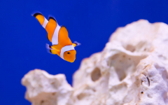A clown fish is unable to blend into its correct atmosphere because the coral is bleached.