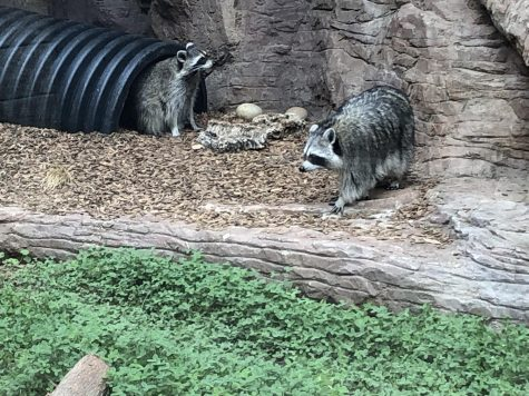 Two racoons roam their enclosure at Coyote Point as the zoo reopens to the public.