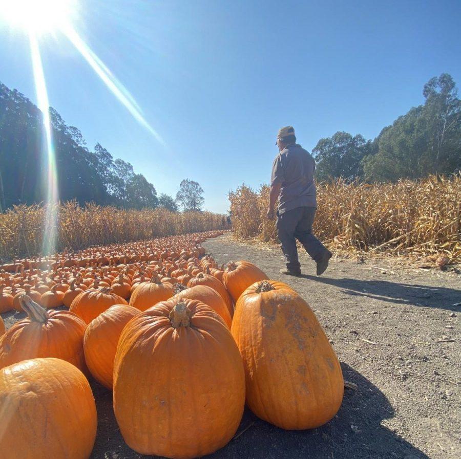 A walk through Aratas Pumpkin Farm shows the rows of pumpkins on display.
